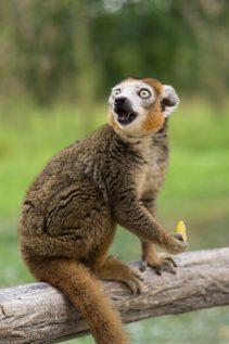 Lémur couronné © David Briard