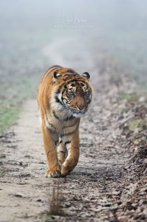 Tigre de Sumatra © David Briard