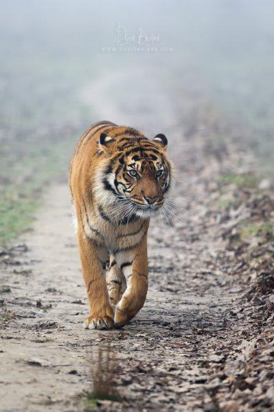 Sumatran tiger © David Briard
