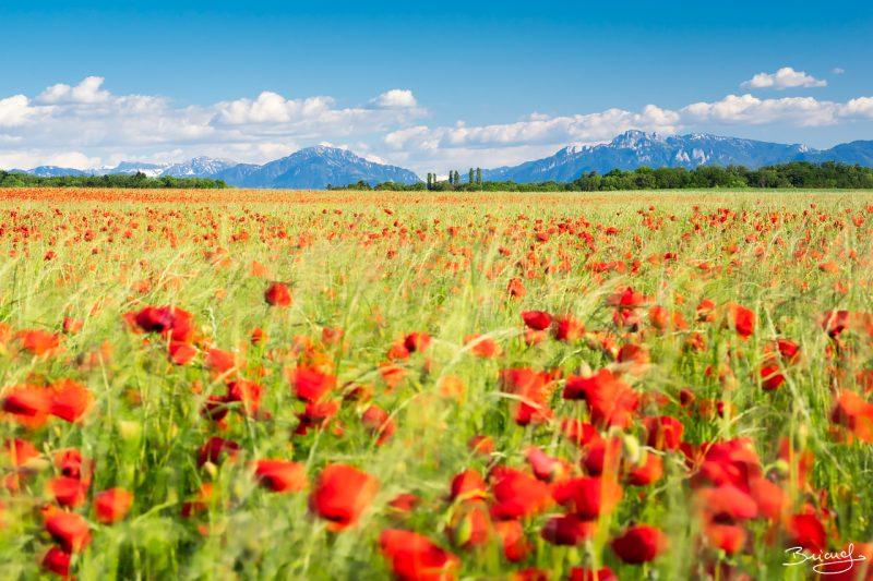 Poppy Field © David Briard