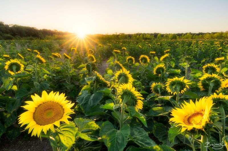 Sunflower Field © David Briard